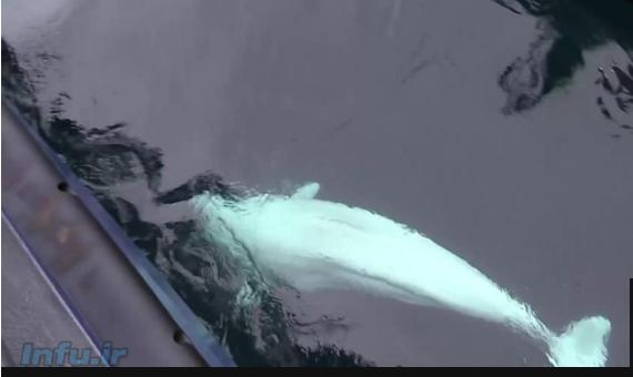 نهنگ 'جاسوس روسیه' در سواحل قطبی نروژ